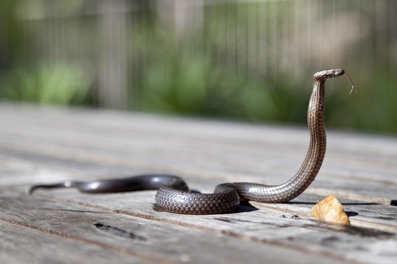 syn-ake peptide snake venom