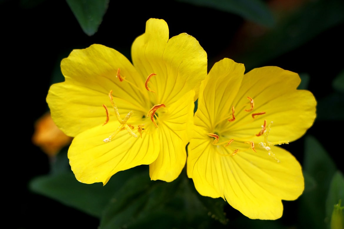 evening primrose oil in skincare