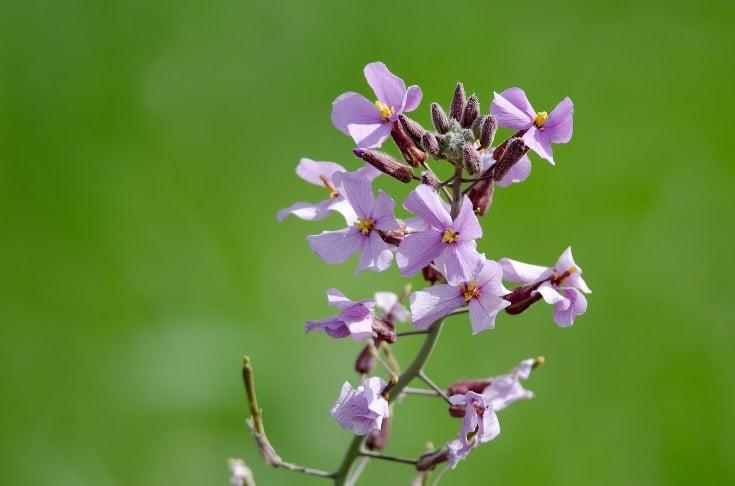 lavender oil in skincare