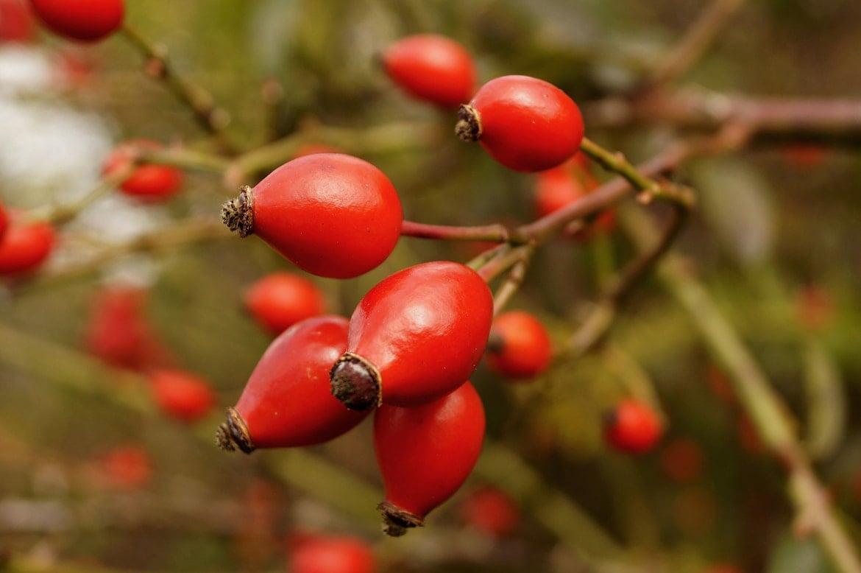 use rosehip oil