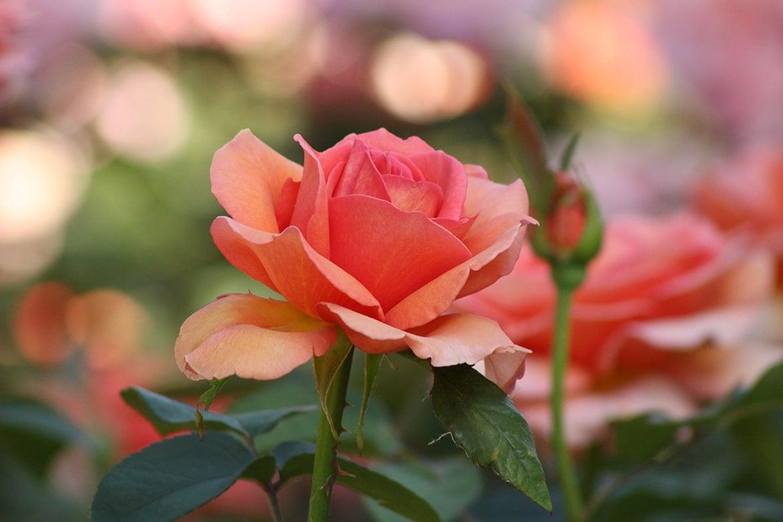 rose oil vs rosehip oil 02